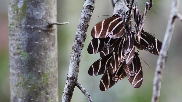 zebra butterflies resting for the night