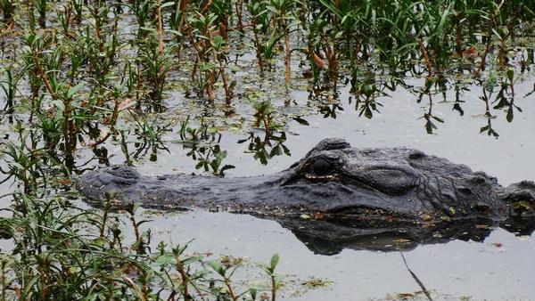 an alligator in a marsh