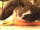 Burt eating a carrot