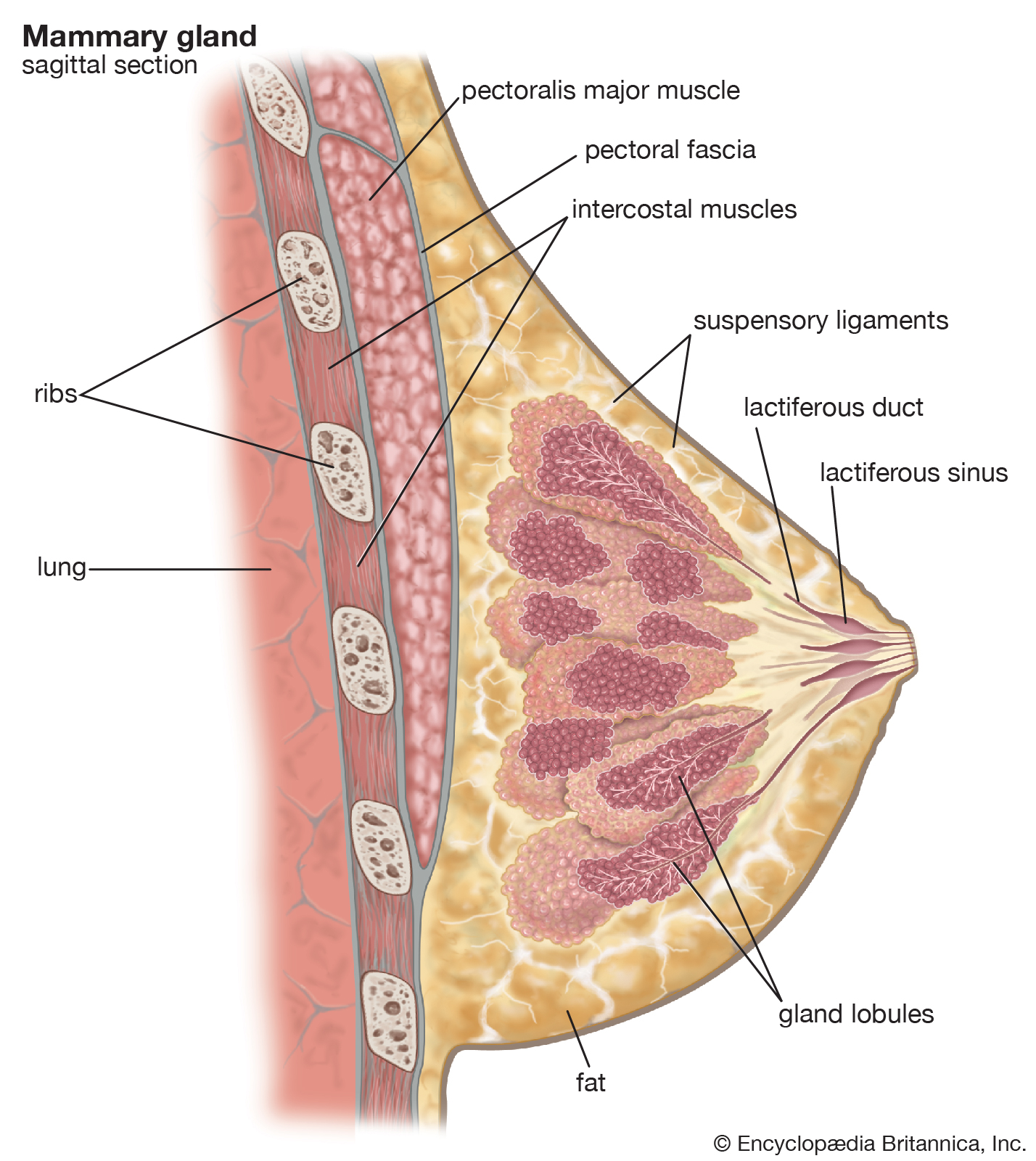 an Encyclopedia Britannica chart showing a woman's mammary gland